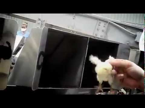Baby Chicks Ground Up Alive at Maple Leaf Hatchery