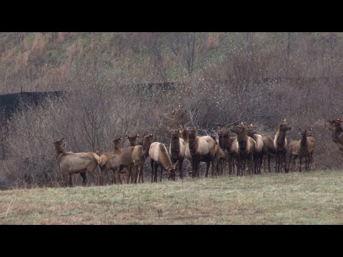 Reclaimed Surface Mine Home To New Elk Herd