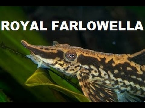 INTERESTING LOOKING FISH | ROYAL FARLOWELLA CATFISH from YouTube · Duration:  2 minutes 17 seconds  · 4,000+ views · uploaded on 1/11/2016 · uploaded by Mbuna Marcus - Aquariums, Cichlids and More