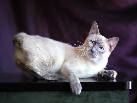 Siamese Tabby Cat Breed | What Is Actually a Siamese/Tabby Cat?