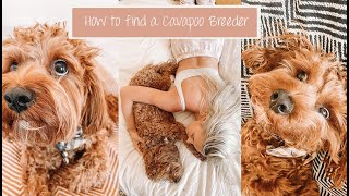 How To Find A Cavapoo Breeder   Questions To Ask Before Getting Your Puppy