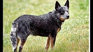 Australian Cattle Dog (A.C.D.) Your Future Best Friend!