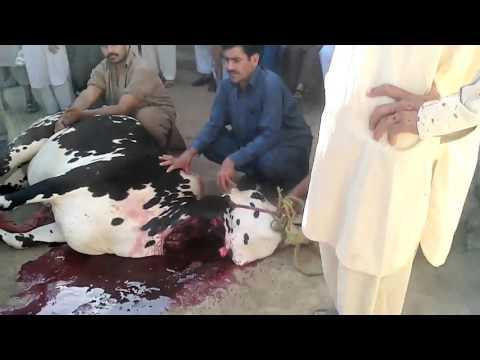 Eid Ul Azha Qurbani Maryam Zai Peshawar Pakistan