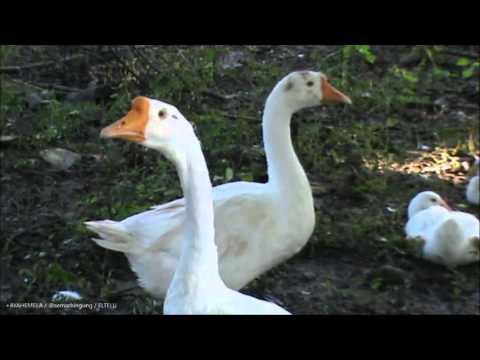 Angsa Putih / Soang ( Cygnus Olor )