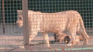 Все О Домашних Животных: Белые Львы Тайгана
