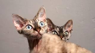 Devon Rex cats playing
