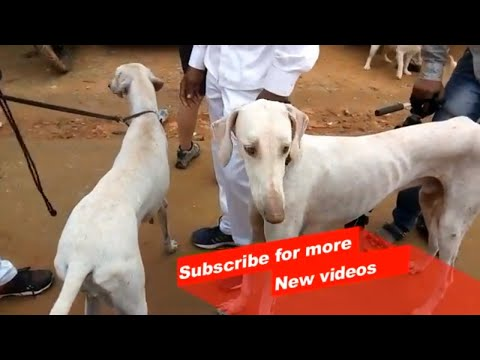 Wow ! Most Amazing Indian dog breeds   Mudhol hound   Karnataka  