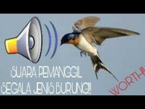 Suara Kompilasi Ampuh Untuk Pikat Segala Jenis Burung!! Langsung Lengket!!!