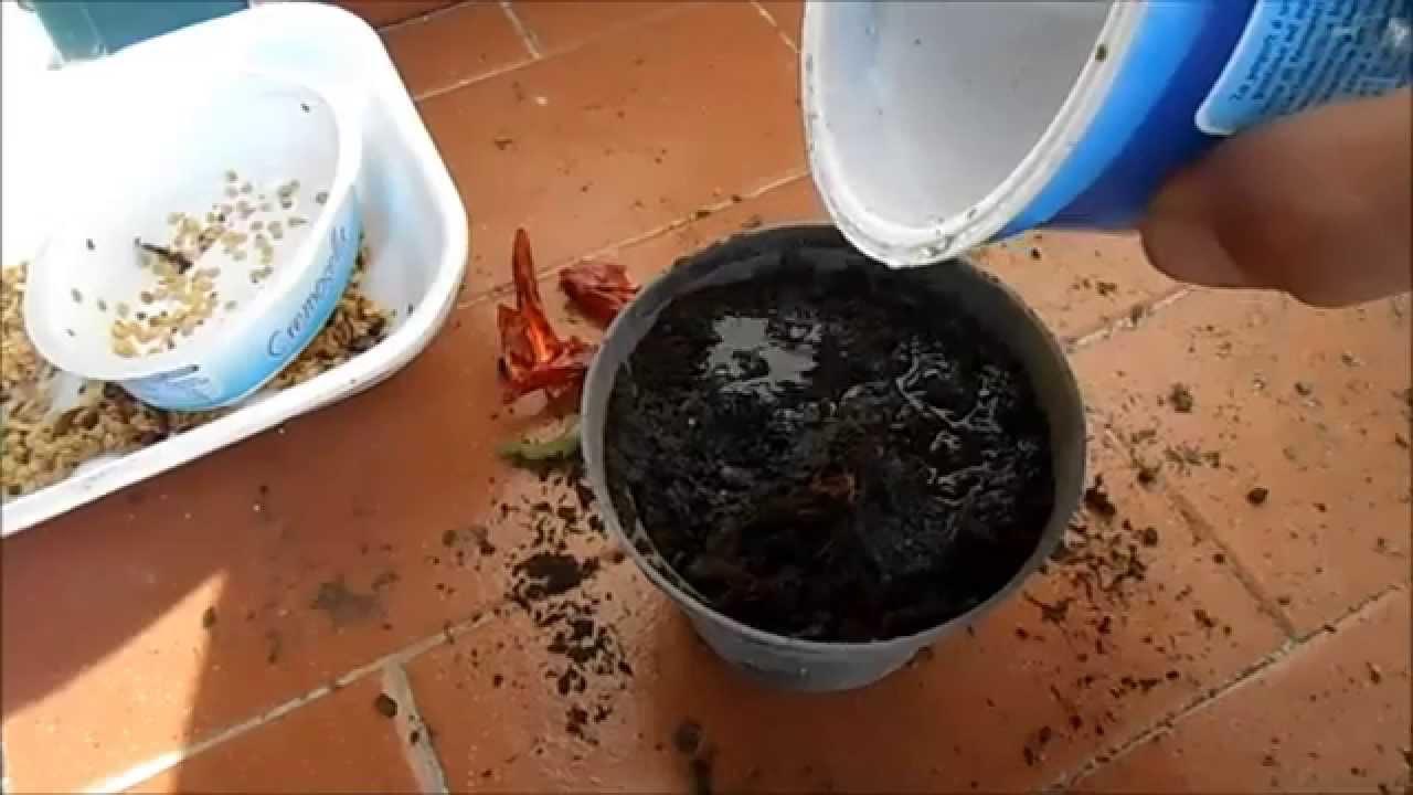 Come piantare il peperoncino in vaso youtube for Peperoncino in vaso