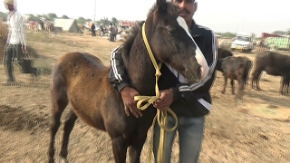 म रव ड़ घ ड 3 ल ख baby colt marwari horse alishaan s grand son for sale cost 3 lakh