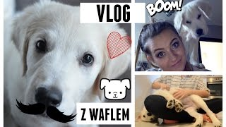 Vlog Z Waflem :) - Golden Retriever Puppy
