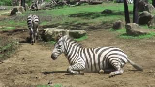 よこはま動物園・ズーラシア 「アフリカのサバンナ」エリア グランドシ...