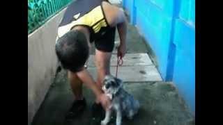 Basic Obedience Mini Schnauzer