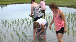 Thai Rice Farming 8-13-2014b