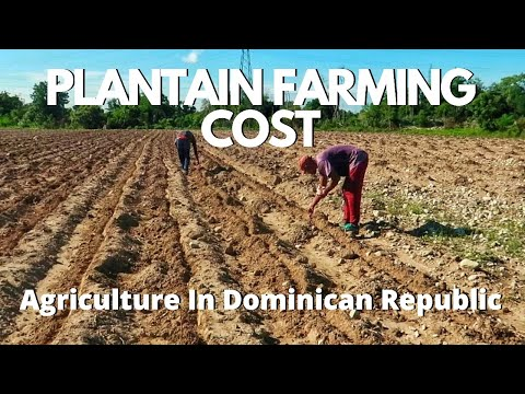Plantain Farming | Agriculture Business In Dominican Republic