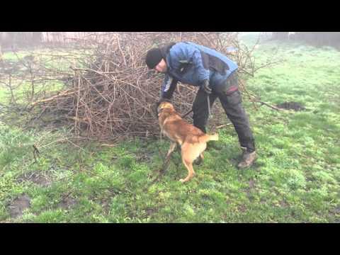 Crimson - Belgian Shepherd Malinois Female for sale