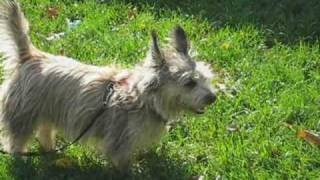 Cairn Terrier Rescue Puppies In Nj- Part 2 Of 5