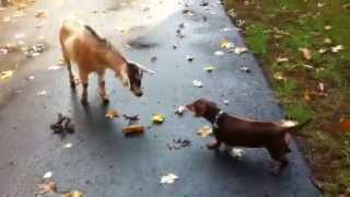 Funny Dachshund Meets Goat Video
