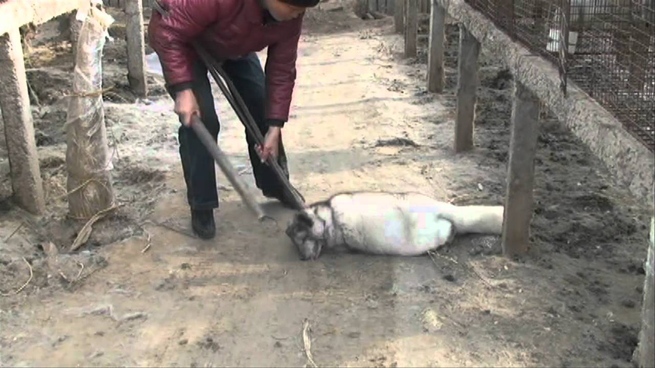 Part I: How Does the Fur Industry Kill Foxes?