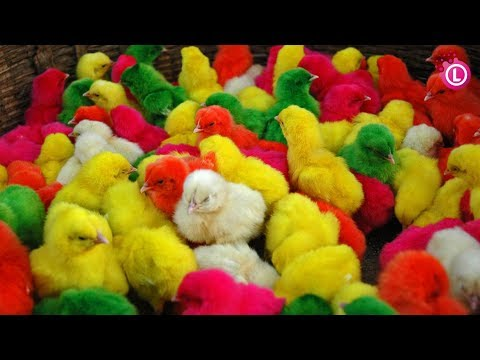 Many Coloured Chicken Baby, Coloured Chicks, Baby Chicken   Our Lifestyle