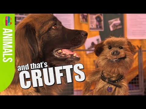 Funny dogs with Hacker   Crufts 2017   CBBC