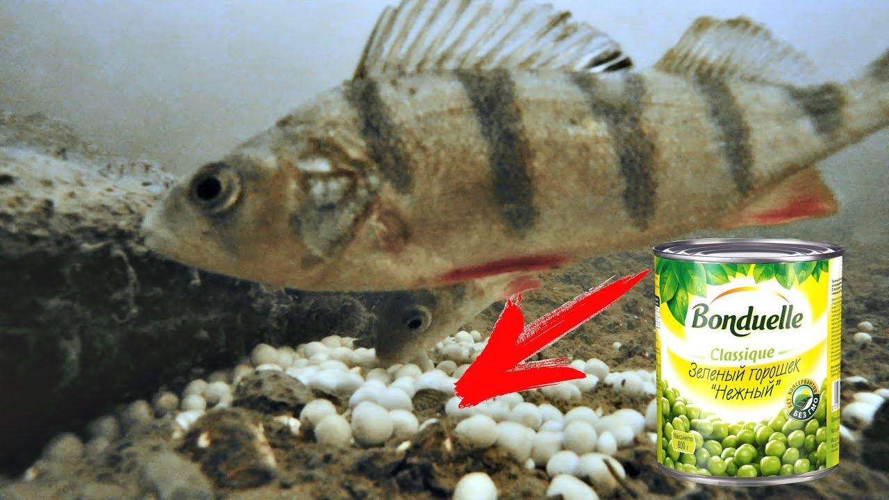 Реакция рыбы на ГОРОХ и мотыля Подводная съемка
