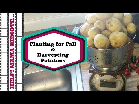 Fall Planting & Harvesting Potatoes: The Small, The Medium and The Mushy