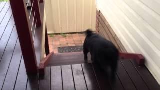 Мопс поднимается по лестнице  D   PUG DOG STAIR CLIMB WIN