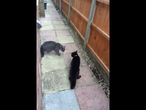 Cats meowing loudly - Turf battle - Show your cat this video!
