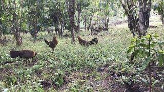 WOOWW !!! Pikat Ayam Hutan Betina Cantik Mengunakan Pikatan Ayam Betina Juga
