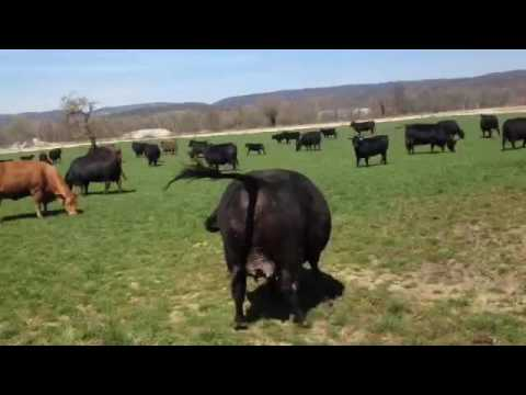 Angus-Rinder spüren den Frühling