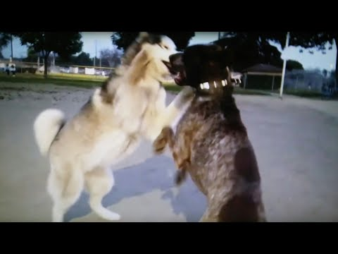 Husky vs German Shorthaired Pointer Battle At Dog Park
