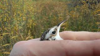 видео Птица пищуха