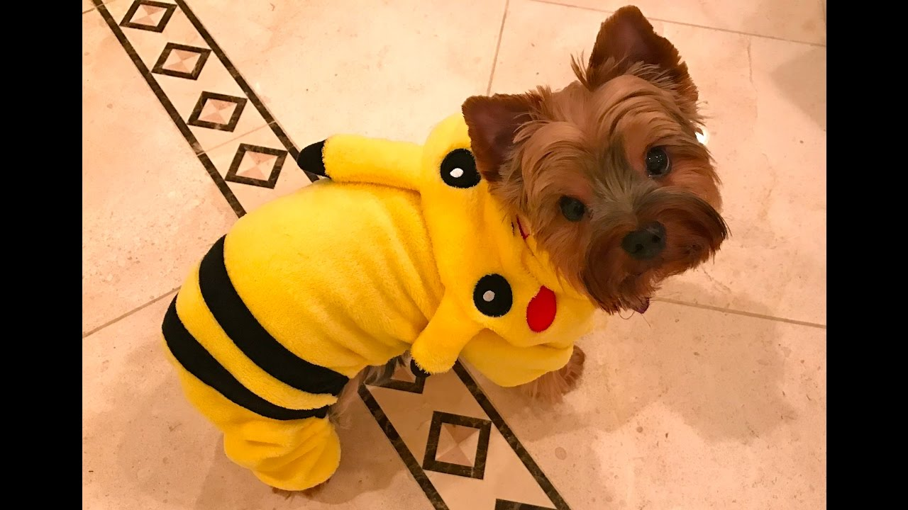 Pokémon Pikachu Halloween Costume For My Yorkie Puppy!
