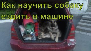 Как научить собаку ездить в машине