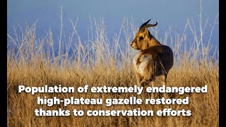 Endangered gazelle population increases around 10 times in 20 years in Northwest China