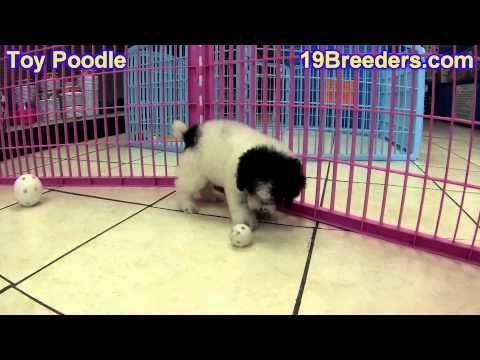 Toy Poodle, Puppies, For, Sale, In, East Honolulu, Hawaii, HI, Makaha, Pukalani, Haiku Pauwela, Mail