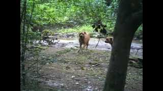 Presweiler (presa Canario X Rottweiler) Pups Nero And Tug In The Woods 2.avi