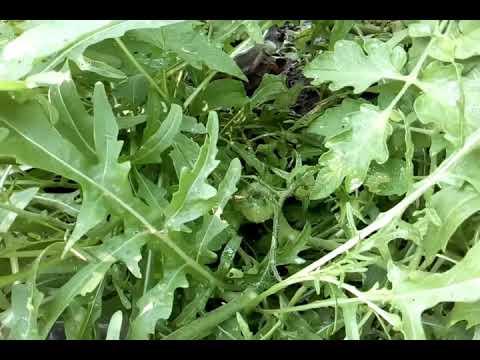 Совмещенные посадки. 11 наименований растений на одной грядке.