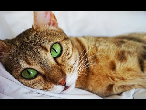 Being in HEAT and What it LOOKS like!  - Savannah Cats