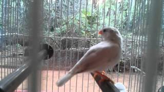Love Birds in Othayoth 4