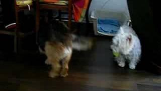 Westie Et Border Terrier
