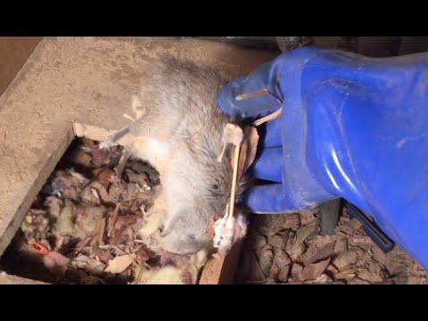 Dead Rat Under Bathroom Vanity  YouTube