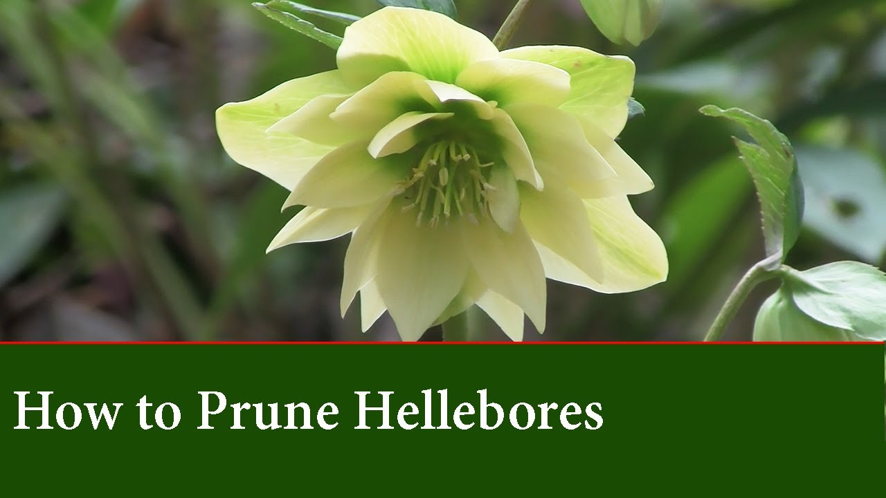 How To Prune Hellebores The Lenton Rose Basic Care