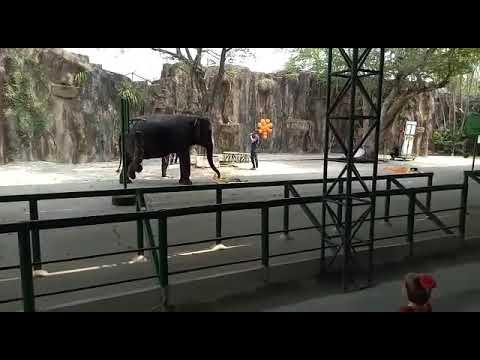 Elephant Massage at Sri Racha Tiger Zoo..Pattaya.. Thailand