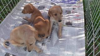 子犬が生まれていますよ http://www.woof.jp/saluki.html 2016年7月14日...