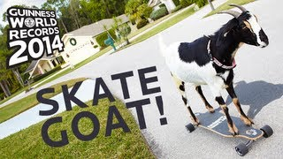 Farthest Distance Skateboarded By A Goat - Guinness World Records 2014