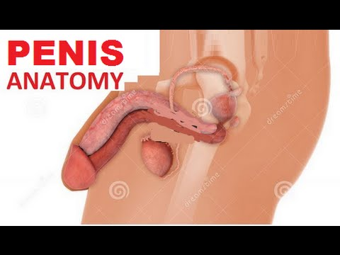 Male Reproductive System Anatomy Penis Erection Prostate