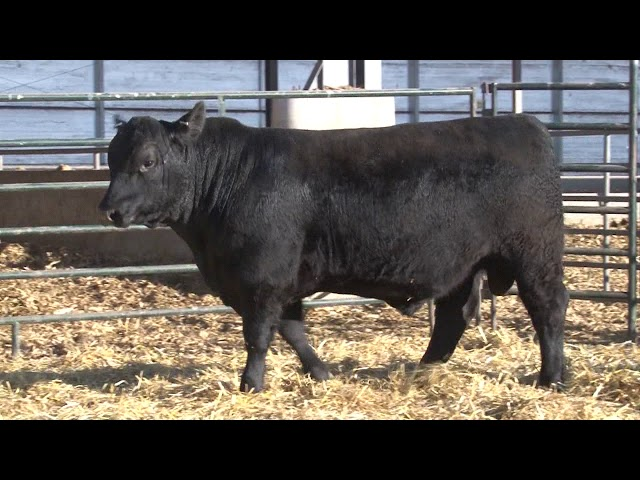 Schiefelbein Angus Farms Lot 196