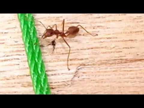 Semut Rangrang VS Semut Hitam